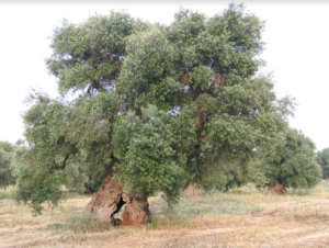 Olive Trees and the Cry of the Land